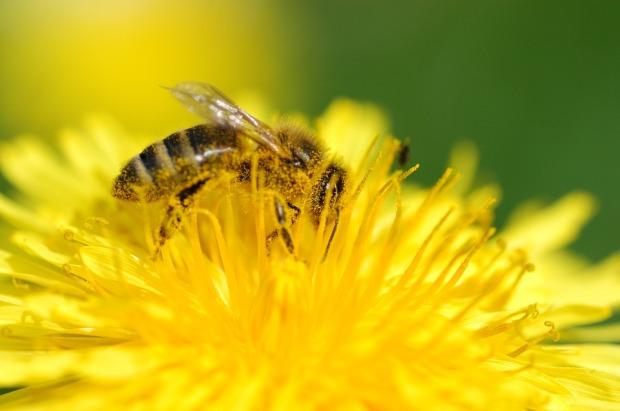 Worker bee on dandelion.