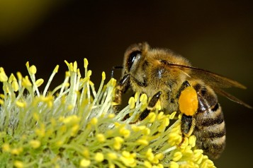 Worker bees keep us fed by pollenating our fruit and vegetable flowers.