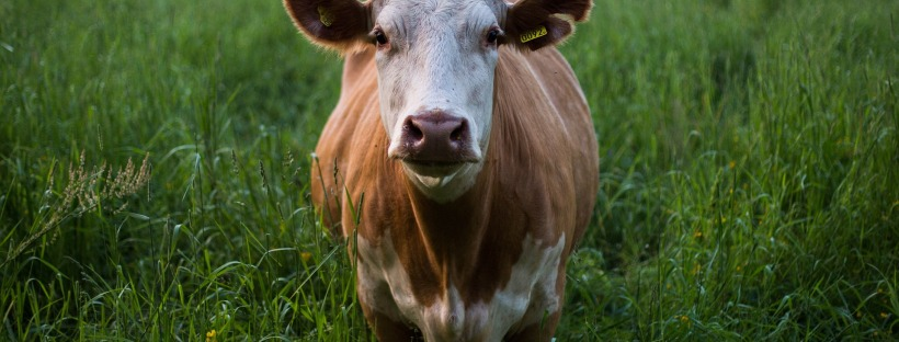 Getting a cow for our pasture